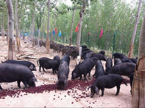 快活林的徒河黑猪太可爱了
